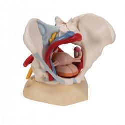 Bassin féminin avec ligaments, vaisseaux, nerfs, plancher pelvien et organes, en six pièces - 3B Smart Anatomy