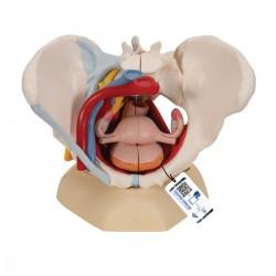 Modèle anatomique - Bassin féminin avec ligaments, vaisseaux, nerfs, plancher pelvien et organes, en 6 pièces - 3B