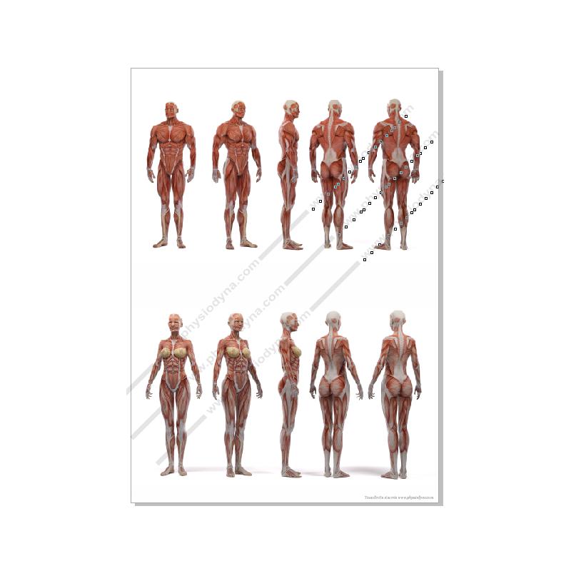 Affiche planche anatomique musculature