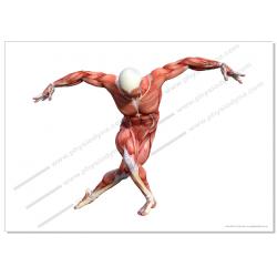 Planche anatomique artistique format A1 musculature Homme